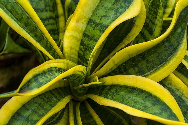 anyós nyelv, szerencsehozó növények