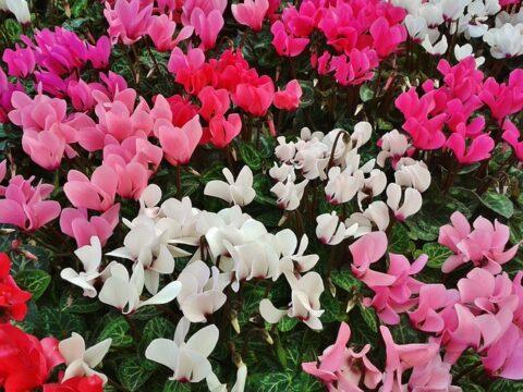 boldogsághozó növény. ciklámen