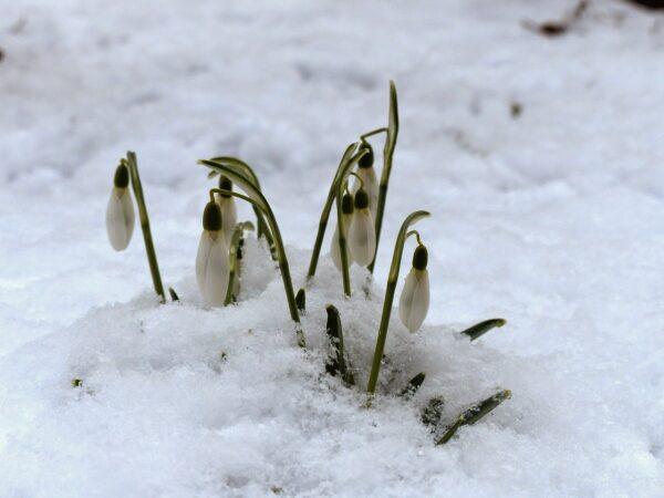 Káldi János: Hóvirág