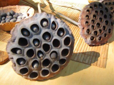 lótuszvirág termése a magokkal