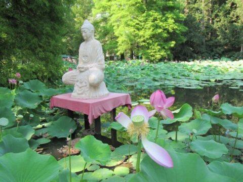 Buddha lótuszülésben és indiai lótuszok a Szegedi Füvészkertben