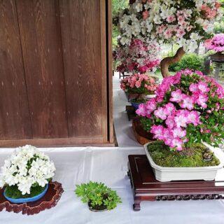 Csodálatos bonsai kiállítás Japánban